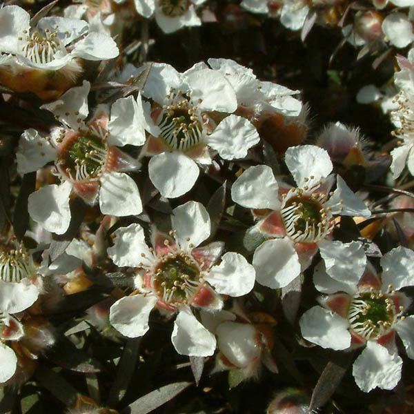 Buy Leptospermum Copper Glow Australian Seed