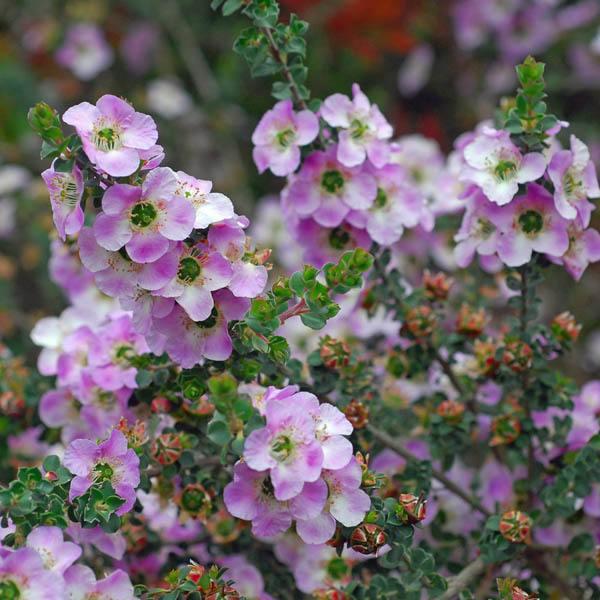 Leptospermum Rotundifolium Leptospermum Tea Tree