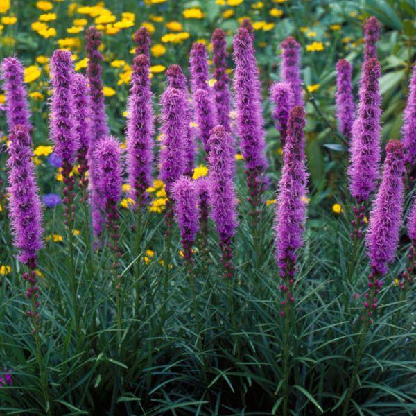 Buy Liatris Spicata Rose Purple Dense Blazing Star