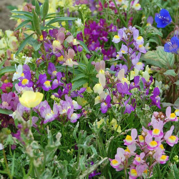 Linaria Fairy Bouquet Mix Seed Low Annual Easily Grown