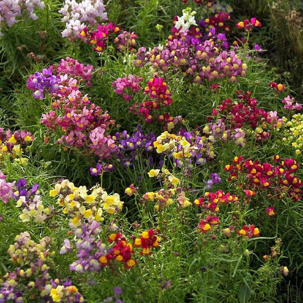 LINARIA Northern Lights - L-Z Miscellaneous – Australian Seed