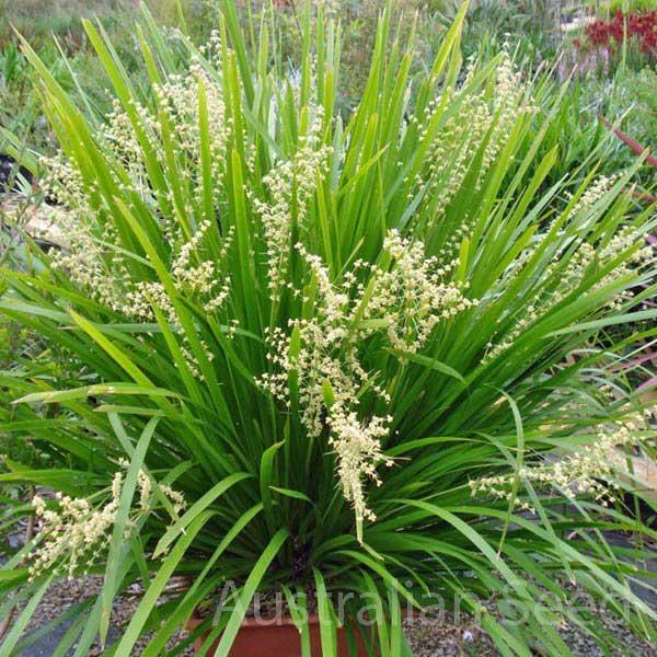 Australian Seed - LOMANDRA hystrix