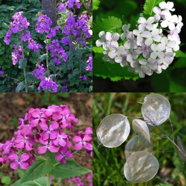 Lunaria Honesty Mix L Z Miscellaneous Australian Seed