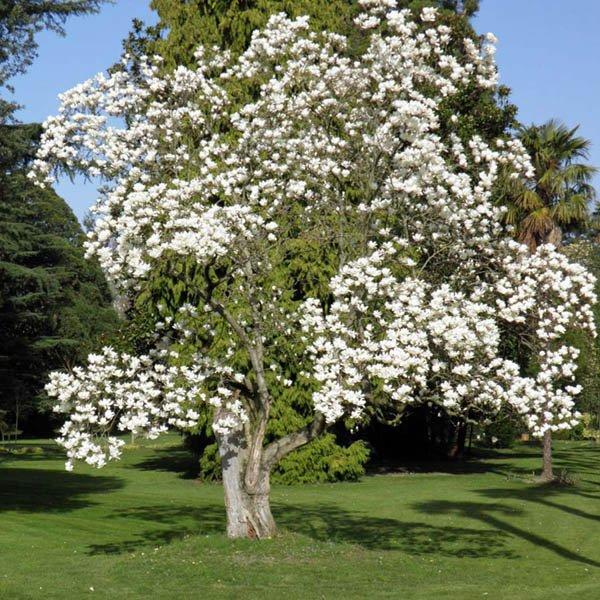 Magnolia Denudata M Z Miscellaneous Australian Seed