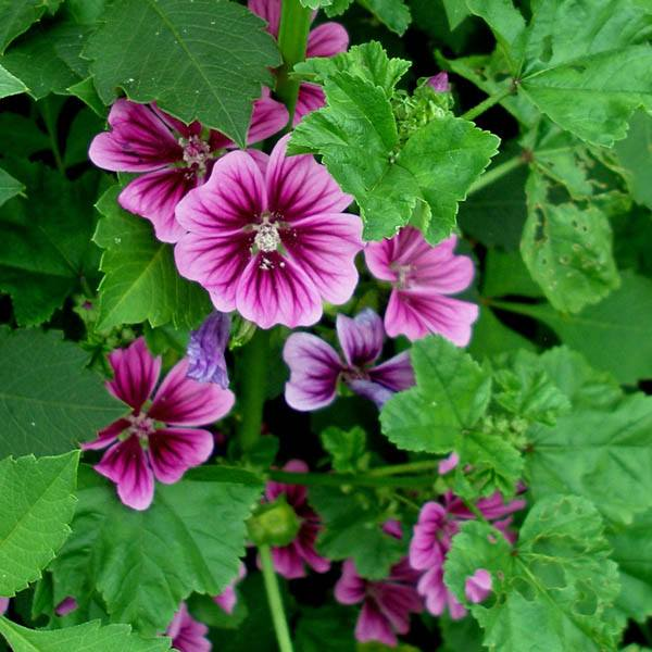 Australian Seed - MALVA Purple Double