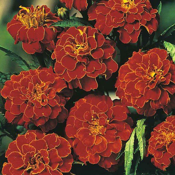 French Marigold Scarlet Sophia Marigold Australian Seed