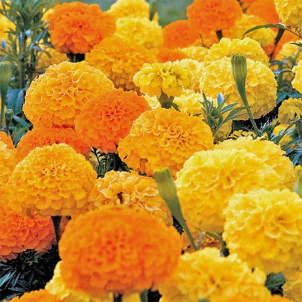 African Marigold Crackerjack Marigold Australian Seed
