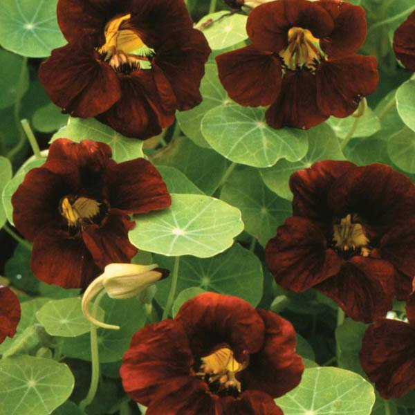 Buy Nasturtium Tom Thumb Black Velvet Tropaeolum Seed