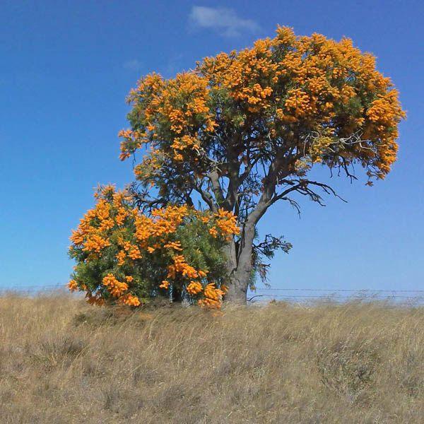 Nuytsia Floribunda N Z Miscellaneous Australian Seed