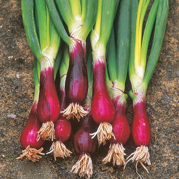 Onion Spring Red Beard Organic Onion Family