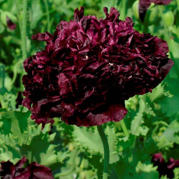 Poppy Peony Double Black Poppy Australian Seed