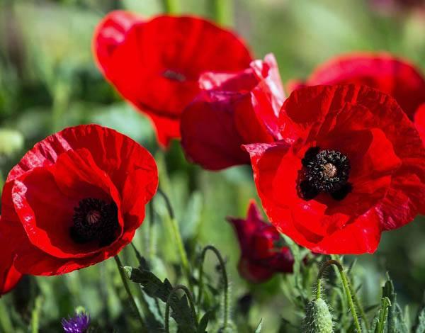 Australian Seed Poppy Deep Scarlet Tulip Poppy