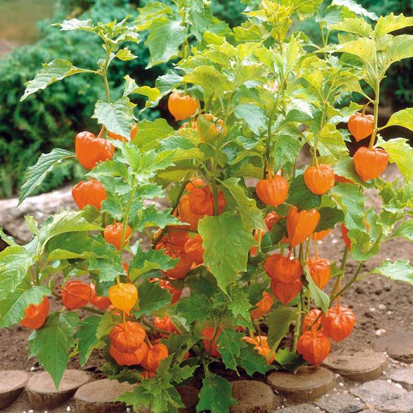 unique garden pots with Physalis Peruviana on Best Succulent Garden Ideas likewise Pyrite Cluster further Wedgwood Cornucopia Oval Dish 39cm together with Lignum Vitae 10 Seeds Bonsai Tree Of Life Guaicum moreover Nemoland.