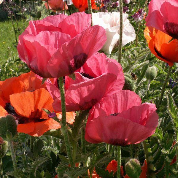 Poppy Oriental Mix Poppy Australian Seed