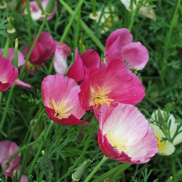 California Poppy Purple Gleam Poppy Australian Seed