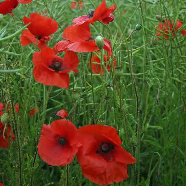 Australian Seed Poppy Red Flanders