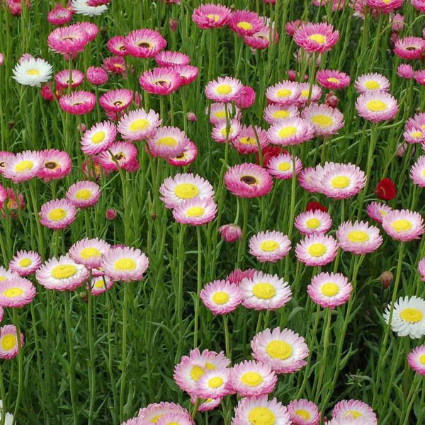 http://australianseed.com/persistent/catalogue_images/products/rhodanthe-yellow-centres.jpg