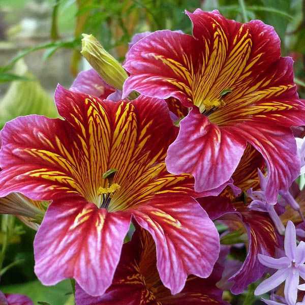 Salpiglossis Painted Tongue L Z Miscellaneous Australian Seed