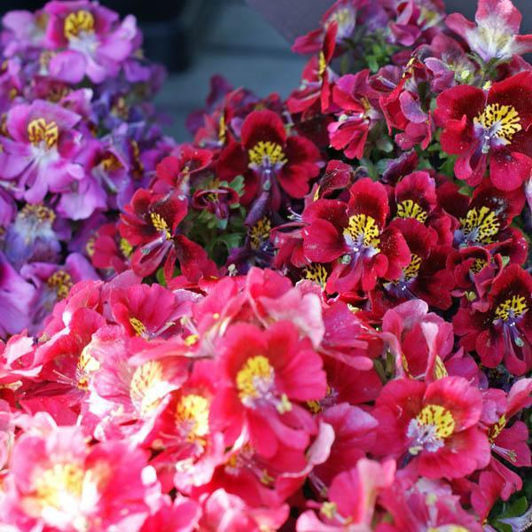 Schizanthus Dr Badgers Mix L Z Miscellaneous