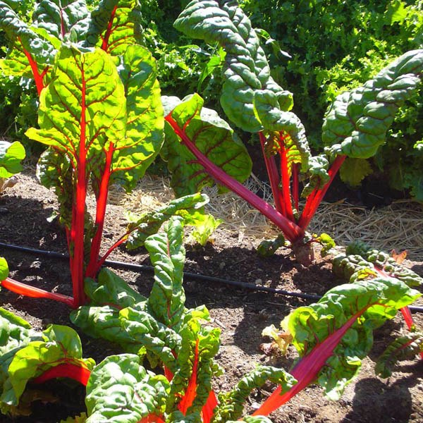 Silverbeet Ruby Red Swiss Chard Silverbeet Amp Spinach