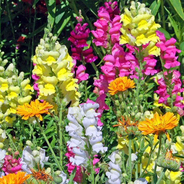 Australian Seed Snapdragon Tom Thumb Mix