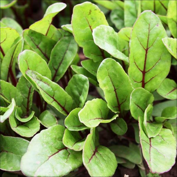 Spinach Red Vein F1 View All Australian Seed