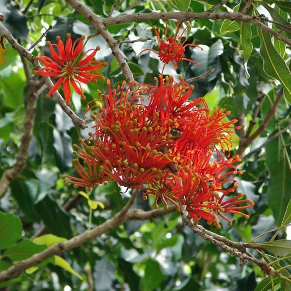 STENOCARPUS sinuatus - N-Z miscellaneous – Australian Seed