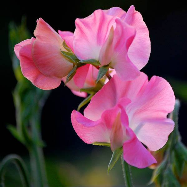 Learn How to Grow Fragrant Sweet Peas in the Garden