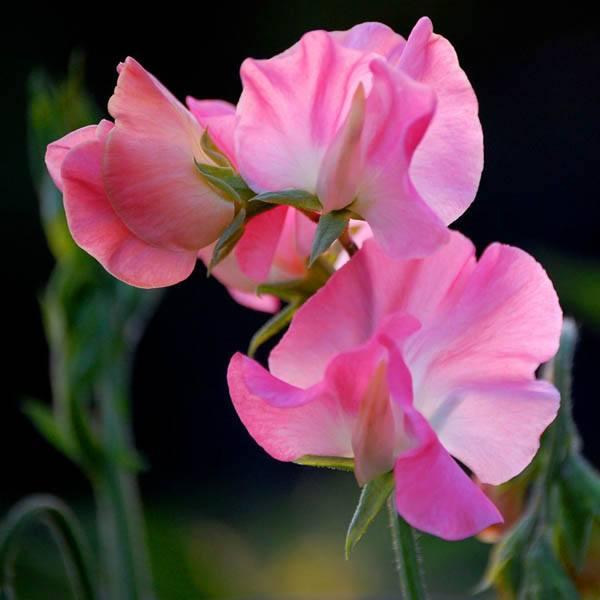 Sweet Pea Mammoth Deep Rose Sweet Pea Australian Seed