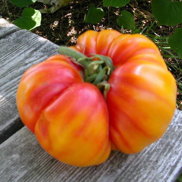 An heirloom variety from west virginia produces huge ribbed beefsteak