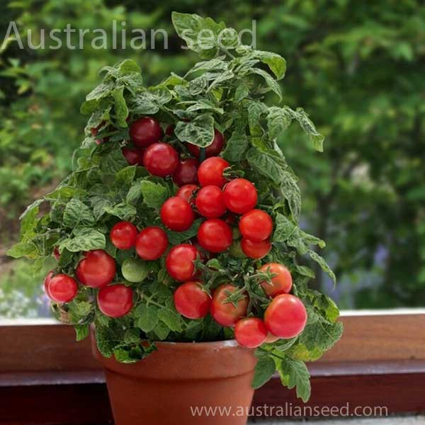 10//100 Seeds Tomato Dwarf Red Robin Early Pot 30cm Sweeten Excellent Flavor