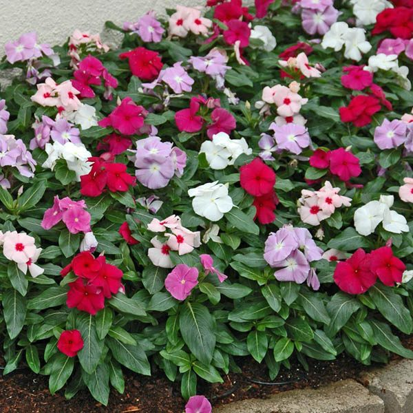 Australian Seed Vinca Dwarf Little Mix
