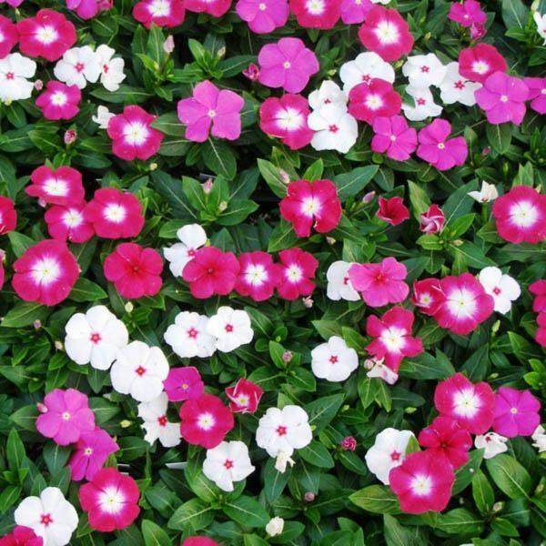 Australian seed vinca tall rosea mix izmirmasajfo