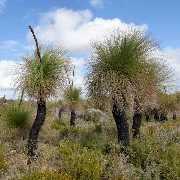 Xanthorrhoea Preissii Xanthorrhoea Grass Tree