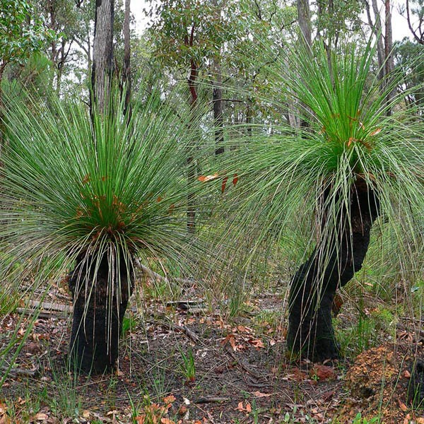 how to grow xanthorrhoea from seed