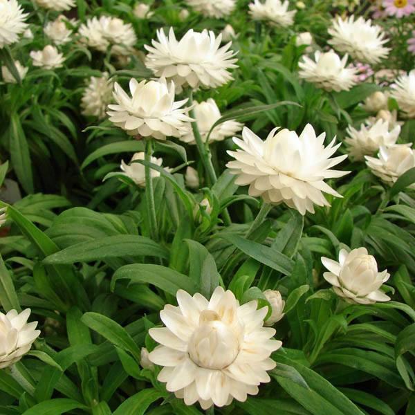 Australian seed xerochrysum bracteatum white mightylinksfo