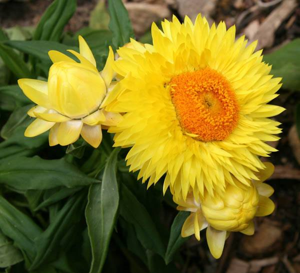 Xerochrysum Bracteatum Yellow Fls Xerochrysum