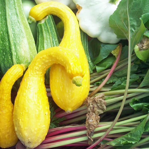 Zucchini Golden Summer Crookneck Zucchini Australian Seed
